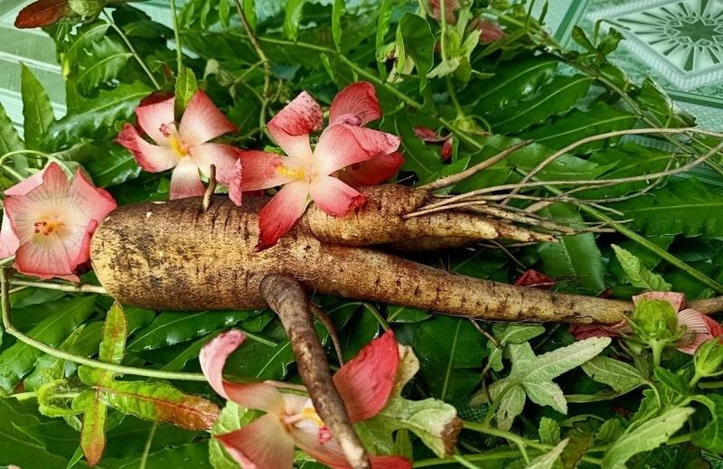 Rễ cây là nơi quý nhất của một cây sabochi