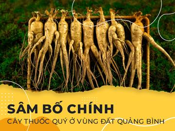 Sâm bố chính - Cây thuốc quý ở vùng đất Quảng Bình